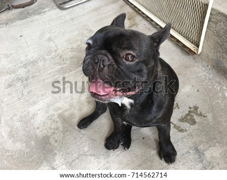 Download Bulldog Black Adorable Dog - stock-photo-french-bulldog-was-face-dirty-has-drooling-black-dog-sit-and-calm-cute-dog-714562714  Graphic_708990  .jpg