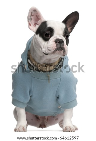 French Bulldog wearing blue hooded sweatshirt, 18 months old, sitting in front of white background