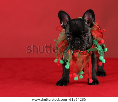 french bulldog wearing christmas scarf standing on red background - stock photo