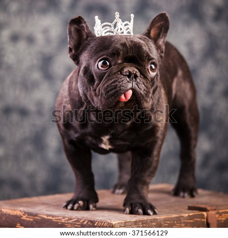 french bulldog wearing crown like a king - stock photo