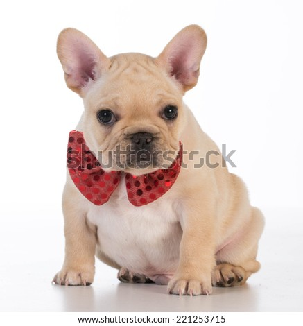 french bulldog wearing red bowtie looking at viewer on white background - stock photo
