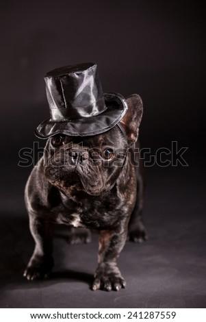 french bulldog wearing stovepipe in studio - stock photo