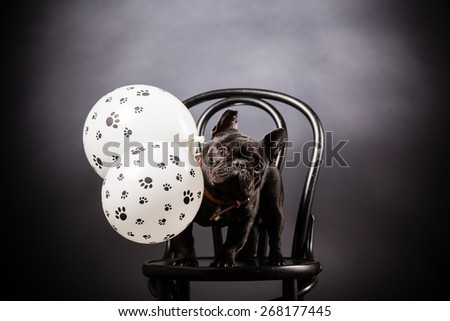 french bulldog with birthday balloons - stock photo