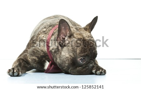 French bulldog with bow tie isolated on white