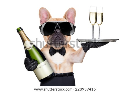 french bulldog with champagne bottle, holding a service tray with glasses , ready to toast,  isolated on white background - stock photo