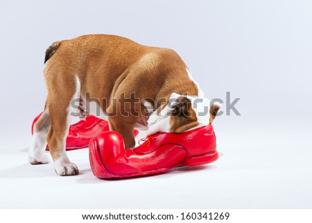 French bulldog with his face inside a red shoe - stock photo