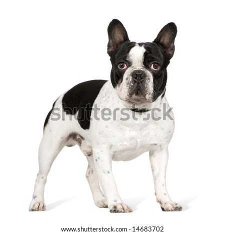French Bulldog (1 year) in front of a white background - stock photo