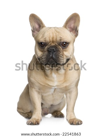 french Bulldog (1 year) in front of a white background
