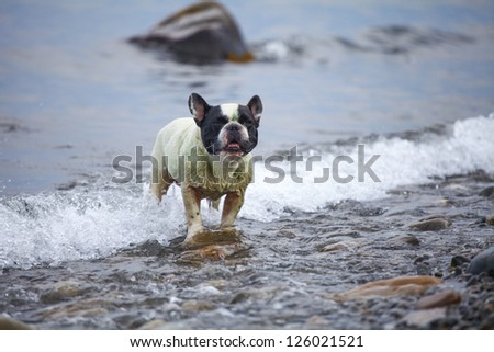 French Bulldog (3 year) on the sea