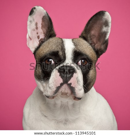French Bulldog, 2 years old, against pink background