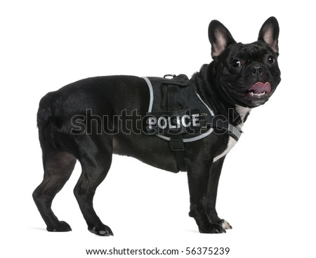French Bulldog, 2 years old, wearing a police harness standing in front of white background - stock photo