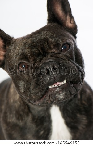 French bulldogs isolated on white