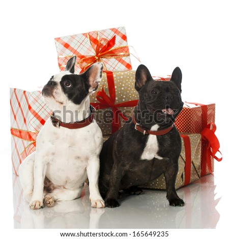 French bulldogs with christmas gifts isolated on white