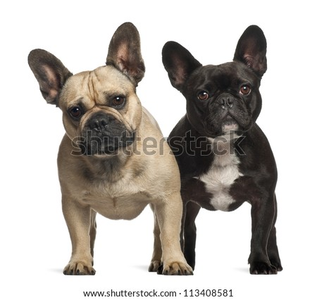 French bulldogs, 3 years old, standing against white background - stock photo