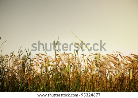 French cornfield - stock photo