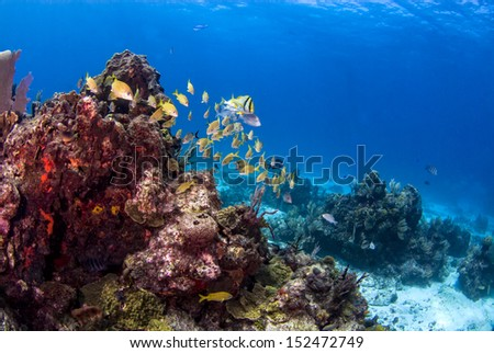 French grunts and a pork fish swimming around a coral head - stock photo