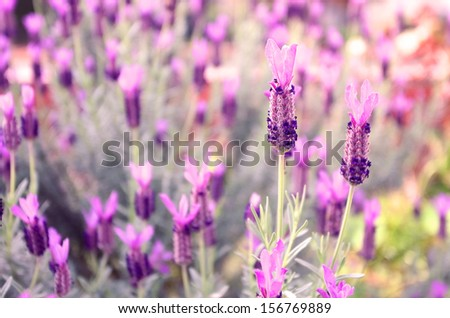 French lavender  - stock photo