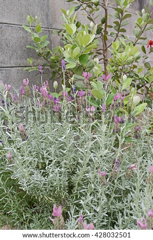 French Lavender. Beautiful garden with lavender - stock photo