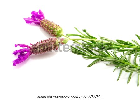 French lavender isolated on white