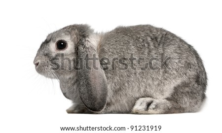 French Lop rabbit, 2 months old, Oryctolagus cuniculus, sitting in front of white background