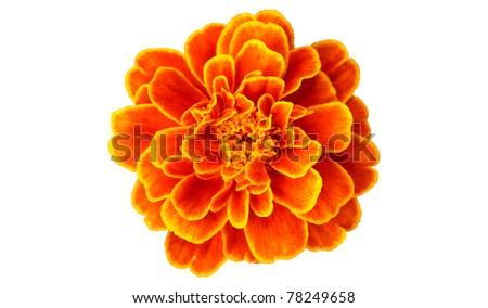 French marigold isolated on white background - stock photo