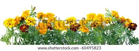French Marigold Petite Orange (Tagetes patula) flowers border  isolated on white - stock photo