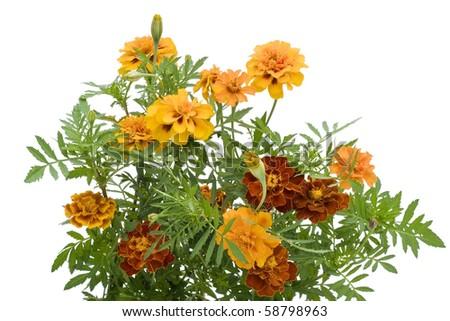 French Marigold Petite Orange (Tagetes patula) flowers isolated on white - stock photo