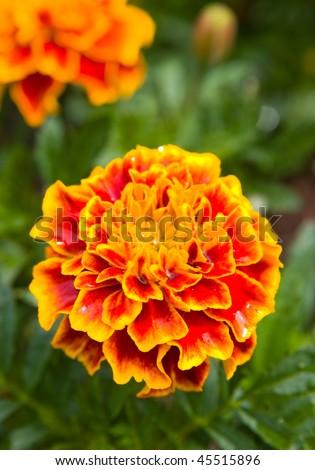 French marigolds (Tagetes). - stock photo
