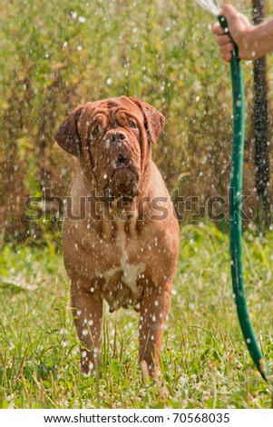 French Mastiff in the garden standing under water streaming from hose