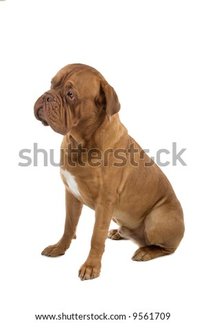french mastiff isolated on a white background
