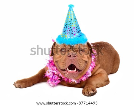 French Mastiff puppy with in party cone, isolated - stock photo
