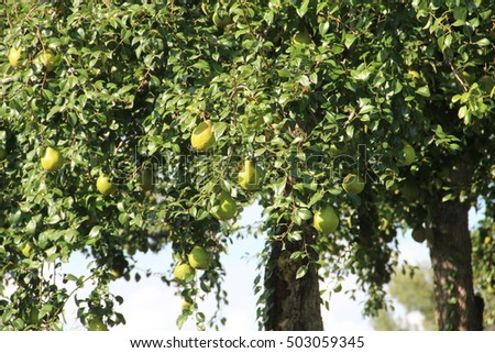 French pears hanging in tree