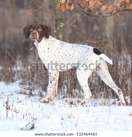 French Pointing Dog looking - stock photo