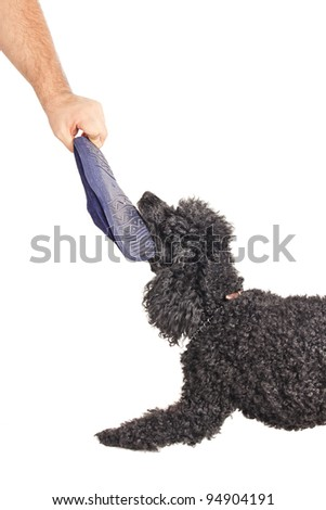 French poodle playing tug of war with a stolen slipper