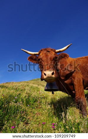French Salers cow with bell staring at the photographer - stock photo