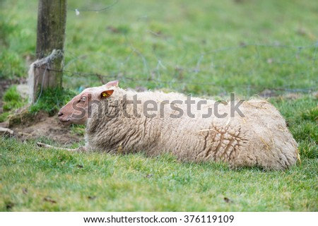 French sheep race Rouge de l'Ouest  - stock photo