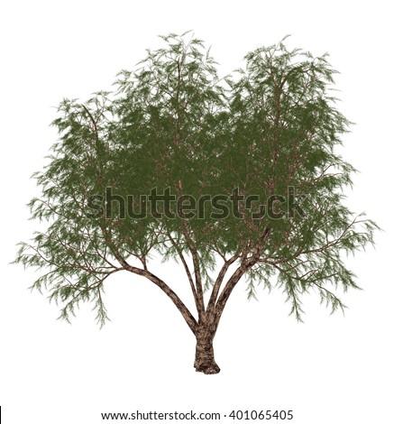 French tamarisk, tamarix gallica, tree - 3D render - stock photo