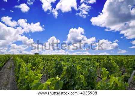 French vineyard in Bordeaux - stock photo