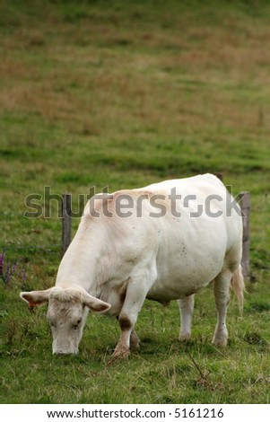 French white cow