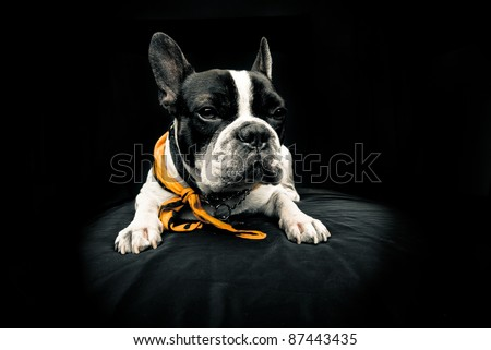 Frenchie over black background looking forward - stock photo