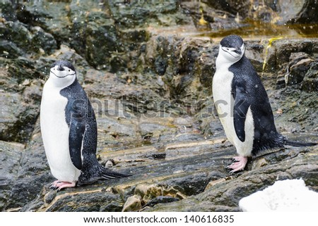 Frendly penguins walk over the stones - stock photo