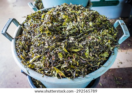 Fresh, a bit dried tea leaves in the basket ready for further processing - stock photo