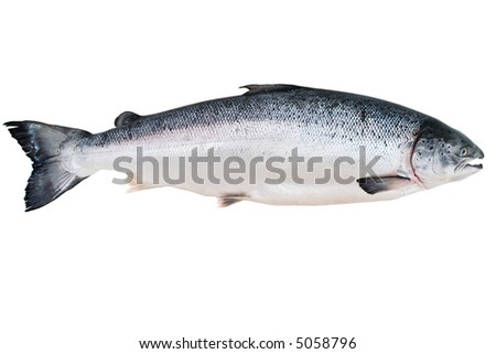 Fresh Alaskan King Salmon isolated on the white - stock photo