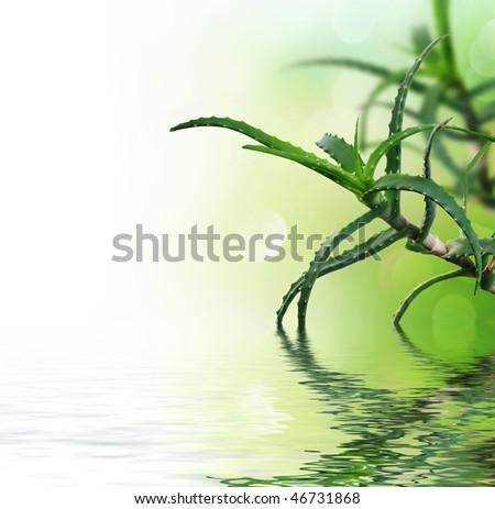 Fresh Aloe Vera - stock photo