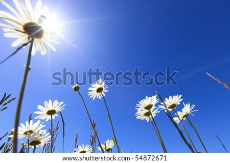 Fresh and bright ox-eye daisy with a blue sky in summer in the Netherlands