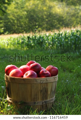 Fresh and delicious apples in a basket in a orchard during fall season - stock photo