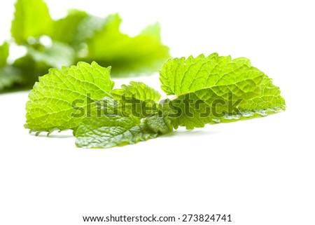 fresh and green lemon balm leaf on white background, isolated - stock photo