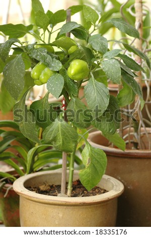 Fresh and growing green chili bell pepper plant