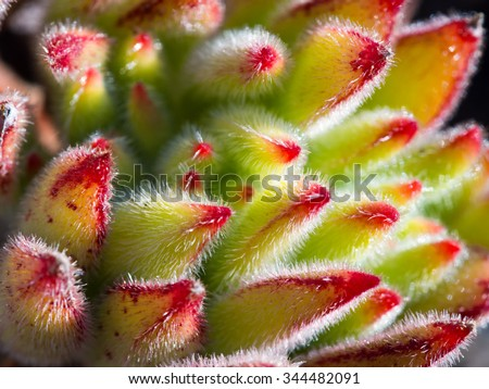 Fresh and juicy Succulent Close-up / Macro shot - stock photo