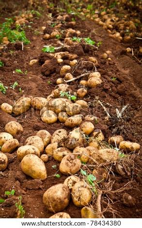 fresh and raw potato on a field - stock photo